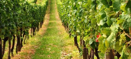 Port Wine Vineard