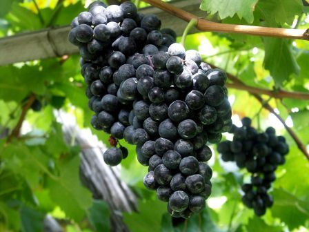 Douro Wine Grapes